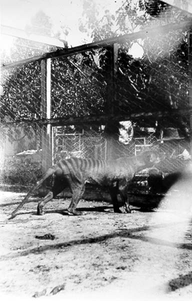 photograph-tasmanian-tiger-thylacine-at-beaumaris-zoo-1920